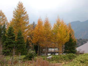 ビジター横のカラマツ林.JPG